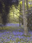 Bluebell Wood by jenny4