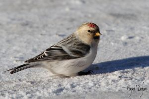 Hoary Redpoll the Nordic by Robin-Hugh