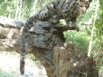 Behold, the Clouded Leopard! by Sabreleopard
