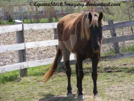 Kentucky Mountain Horse 7 by EquineStockImagery