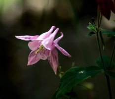 Aquilegia by tortagel