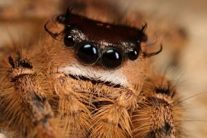 jumping spider mug shot by macrojunkie