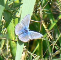 Male Common Blue by KaiHallarn111