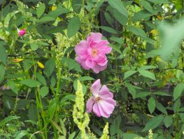 Rosa palustris Plena by TheLordTaxus