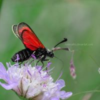 A Red Moth by HelenaMim