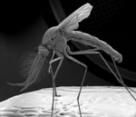 Mosquito magnified by shravanvv