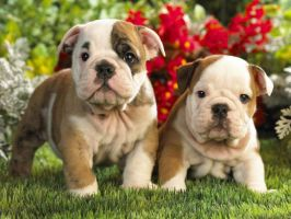 Babies Bulldog by LoliiTD
