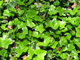 Ivy Texture by sicmentale