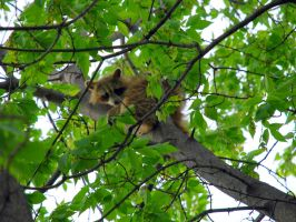 Daytime Racoon by FallingClockwise