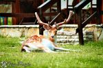Horns of the Roe Deer by Muhammed-Jetimi