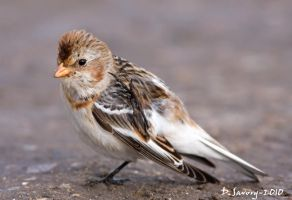 Snow bunting by Slinky-2012