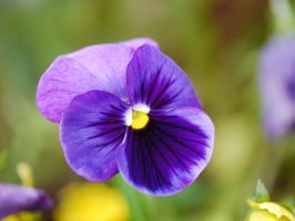 Blooming Purple blue Pansy. by asaluiphotography