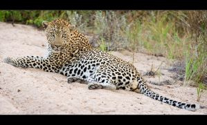 Riverbed Leopard by MrStickman
