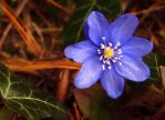 The one perfect flower by MirachRavaia
