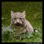 Baby Snow Leopard: Delicious by TVD-Photography