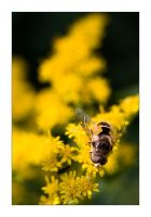 Yet Another Hoverfly by henroben