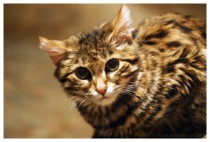 Black Footed Cat 002 by ShineOverShadow