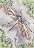 Plume Moth by Wolf-Daughter