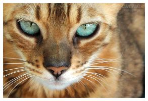 Bengal Cat Eyes by BrookeDibble