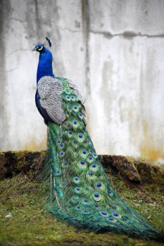 Peacock , peafowl - stock by annamnt