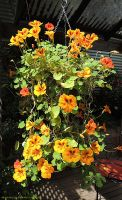 Nasturtium Hanging Basket by kayandjay100
