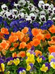 Gorgeous Selection of Pansies by Kitteh-Pawz