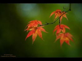 Acer Colour by GMCPhotographics