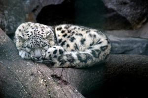 Snow Leopard 005 by neverFading-stock