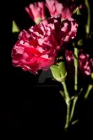 Antique-y Carnation by light-scape