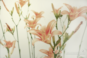 Lilies in light by Angi-Shy