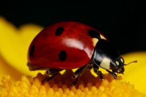 Ladybug on Yellow III by dalantech