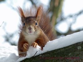 Squirrel 51 by Cundrie-la-Surziere