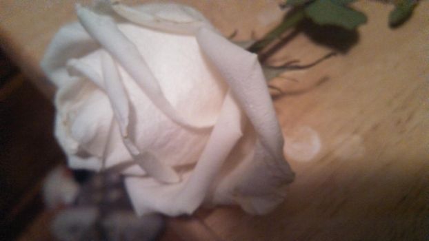 A simple white rose photography by XxbloodysmilesXx