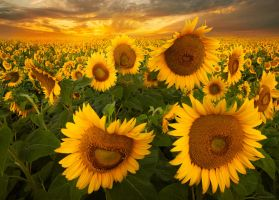 Fields of Gold II by borda