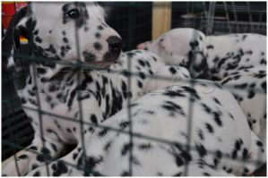 Dalmatian Puppy 4 by Decode-That