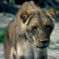 lion female by lindaatje