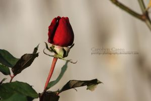 Red Rose by Prestige-Photography