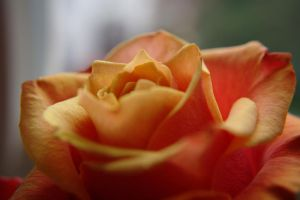 Rose of Love by Tricia-Danby