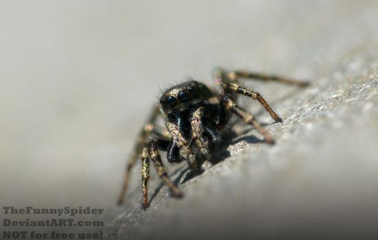 Another male Zebra Jumping Spider - May 2017 by TheFunnySpider