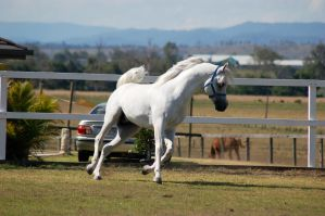 GE Arab canter/trot front view head to side by Chunga-Stock