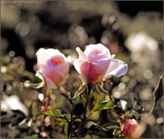 Just two roses by ShlomitMessica