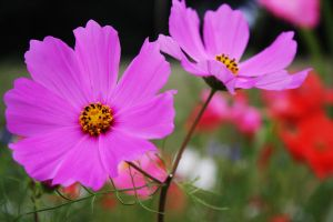 Pink Cosmos by DistantVisions