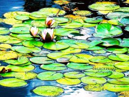 water lily by blackkpearl