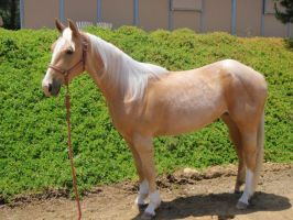 Palomino Filly by BedouinStables