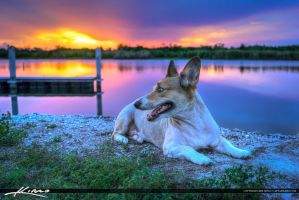 Kogi-Dog-at-Lake-Okeechobee-Florida-During-Sunset by CaptainKimo