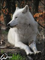 Arctic wolf: noble queen by woxys