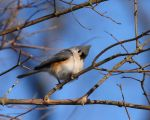 Tufted Titmouse I by natureguy