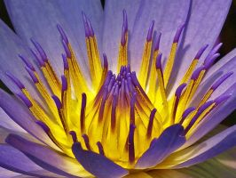 Glowing Centre of a Lotus by AgiVega