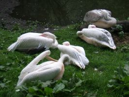 Pelican 5 by gwenna-stock