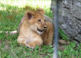 Lion Stock 5: Cub by HOTNStock